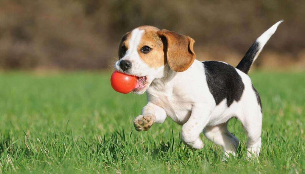 تربیت سگ بیگل