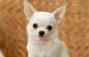 سگ شیواوا سفید