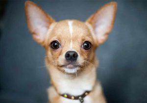 چهره سگ شیواوا