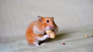 غذا خوردن همستر