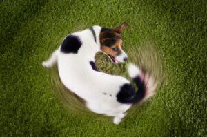 سگی که دمش دنبال میکنه