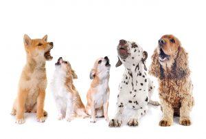 چند نژاد سگ