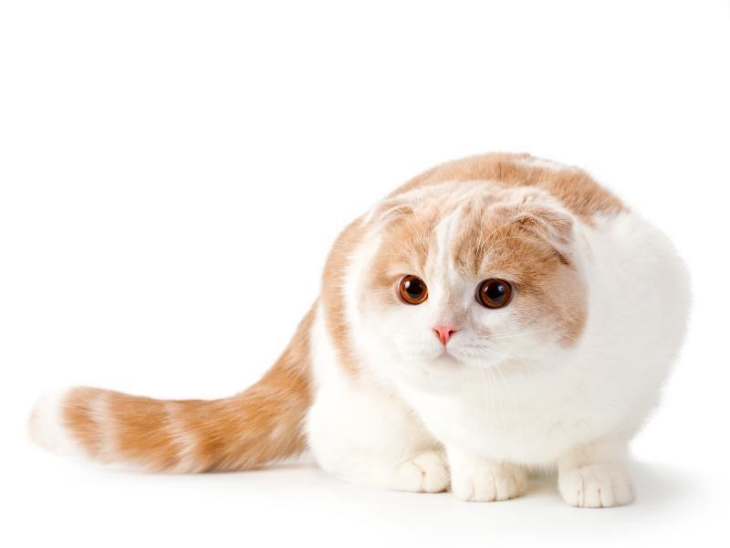 گربه اسکاتیش فولد خوشگل