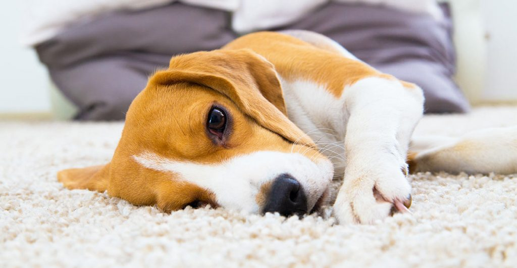 بیماری های سگ بیگل
