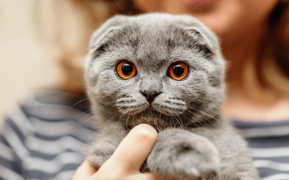 گربه گربهی اسکاتیش فولد