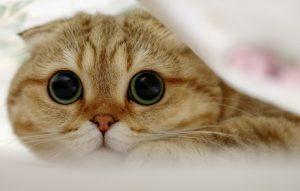 بچه گربه گربهی اسکاتیش فولد