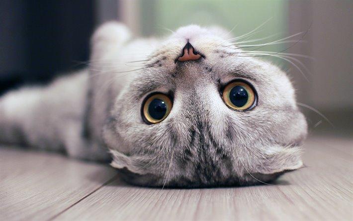 بچه گربه گربهی اسکاتیش فولد طوسی