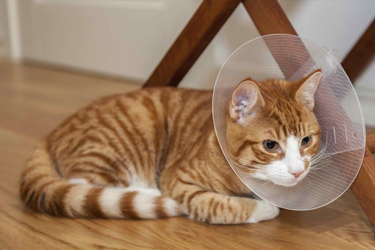 بستن گردنبند الیزابت برای گربه