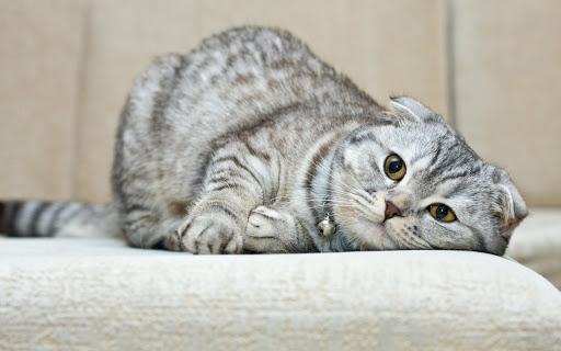 گربه اسکاتیش فولد تپل