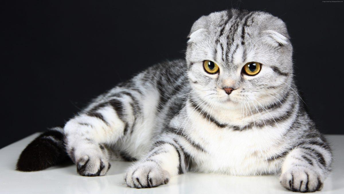 گربهی اسکاتیش فولد