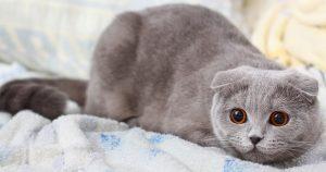 گربه اسکاتیش فولد بالغ