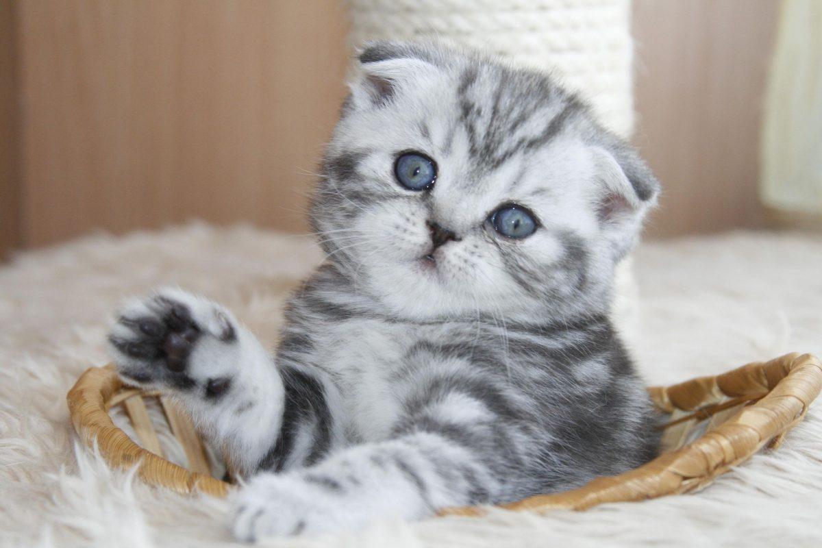 بچه گربه اسکاتیش فولد بامزه