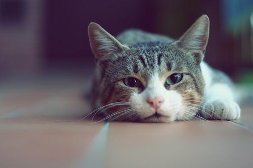 گربه مرموز
