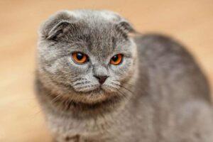 بچه گربه گربهی اسکاتیش فولد خاکستری