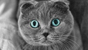 بچه گربه گربهی اسکاتیش فولد چشم ابی روشن