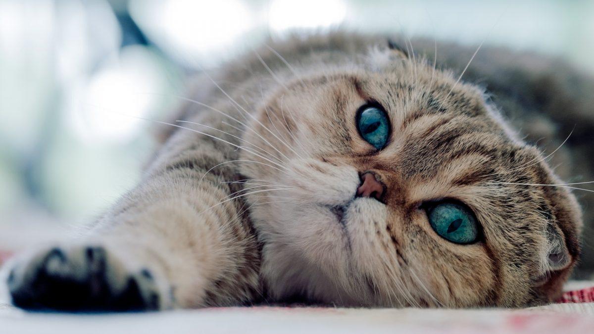 بچه گربه گربهی اسکاتیش فولد چشم ابی
