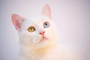 گربه چشم رنگی