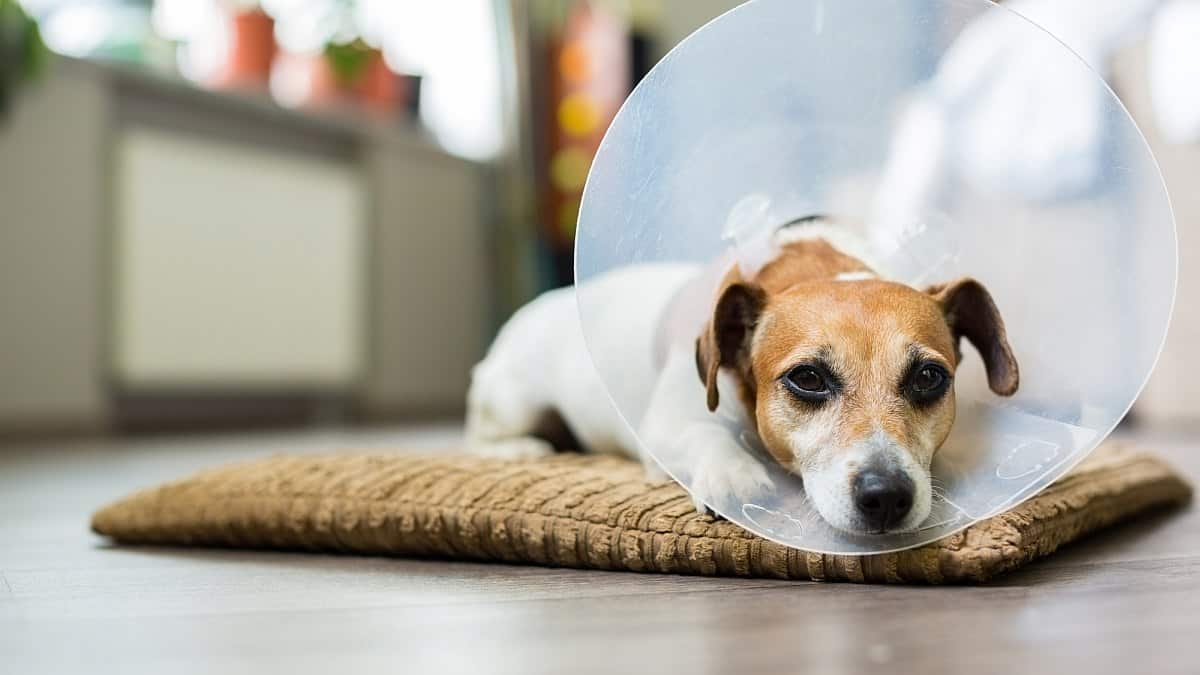 بستن گردنبند الیزابت برای سگ