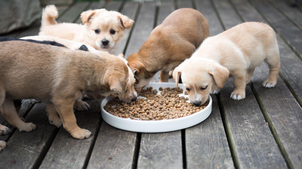 غذا خوردن توله سگ