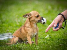 راهنمای تربیت سگ شی هواهوا و چالشهای آن
