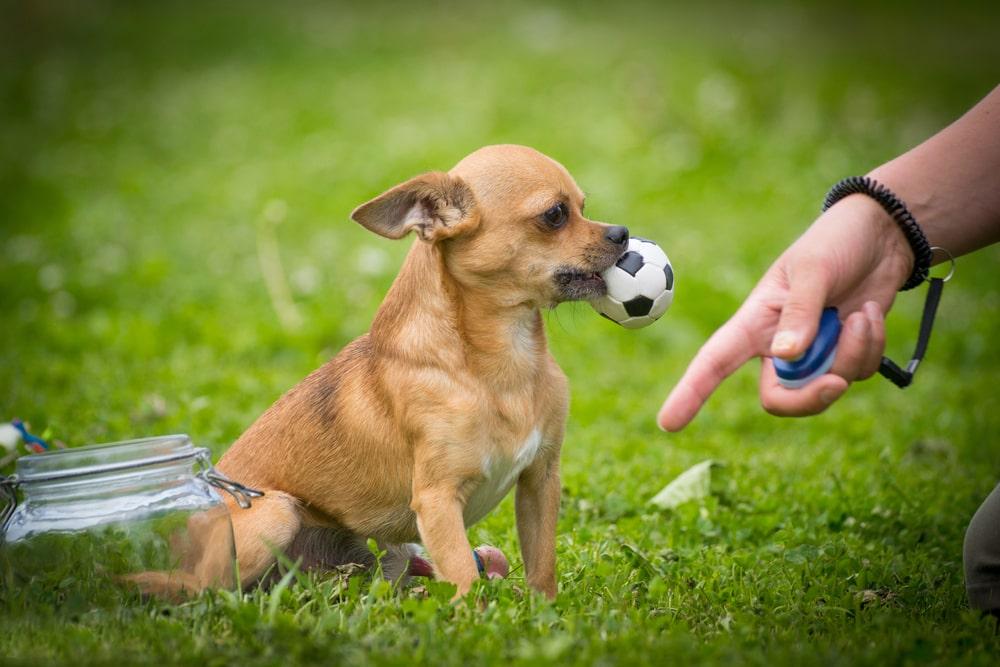 راهنمای تربیت سگ شیواوا و چالشهای آن