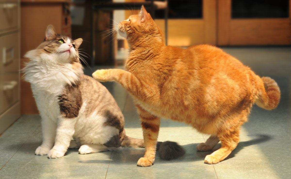 دو گربه در حال بازی کردن
