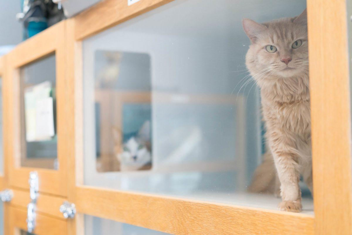 پانسیون گربه خانگی