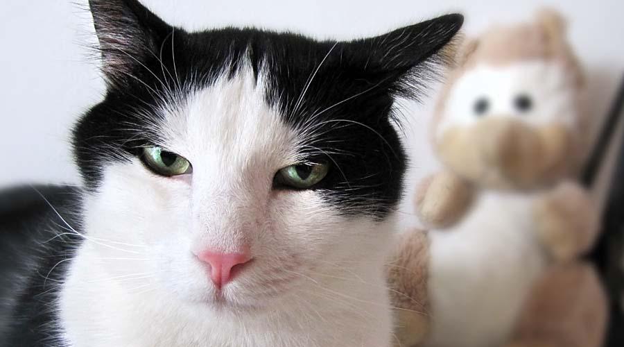 گربه سیاه سفید