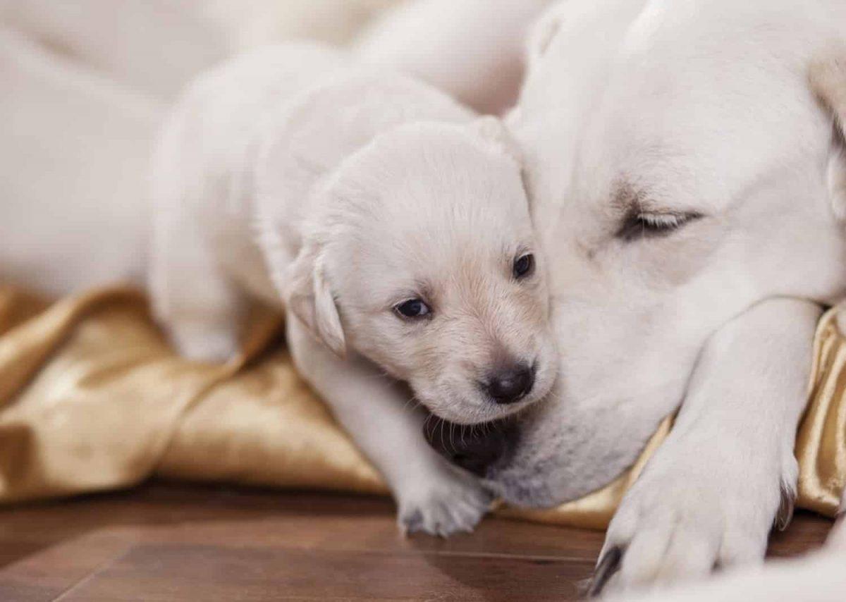 همه چیز در مورد بارداری سگ + زایمان