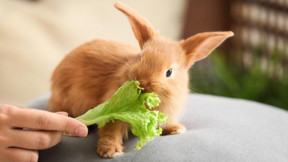سبزیجات مفید برای خرگوش