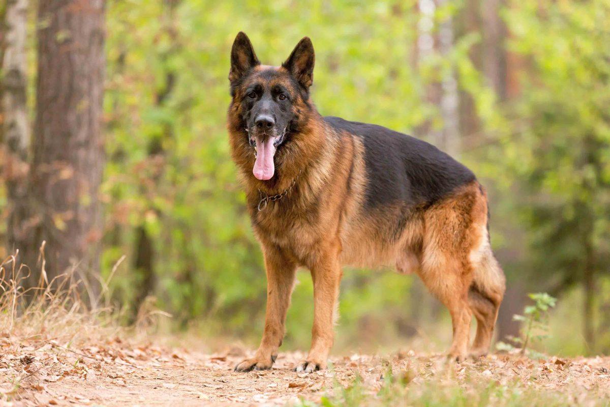 مشخصات سگ ژرمن شپرد ورک