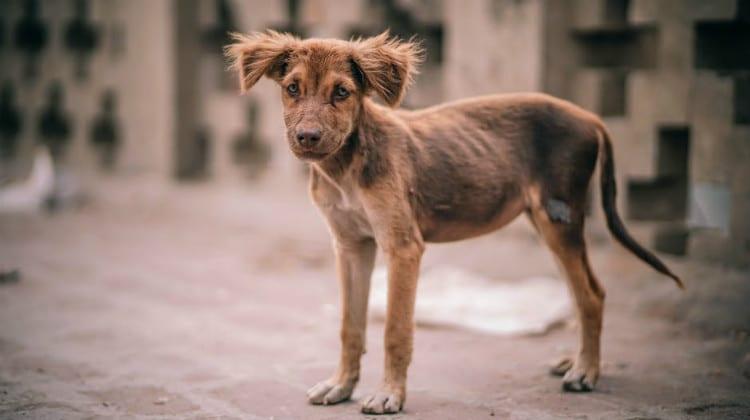 بیماری جرب در سگ