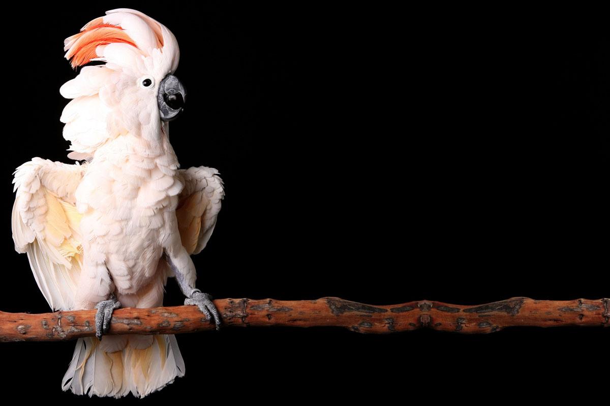 کاکادو نژاد ملوکان