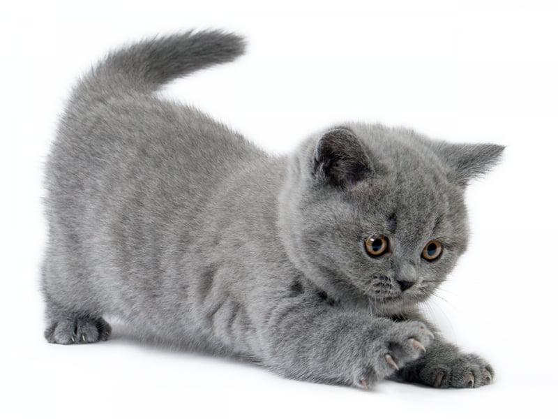 بچه گربه بریتیش شورت هیر