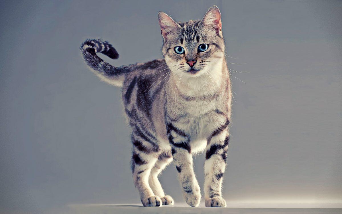 گربه آمریکن وایر هیر با چشمانی آبی
