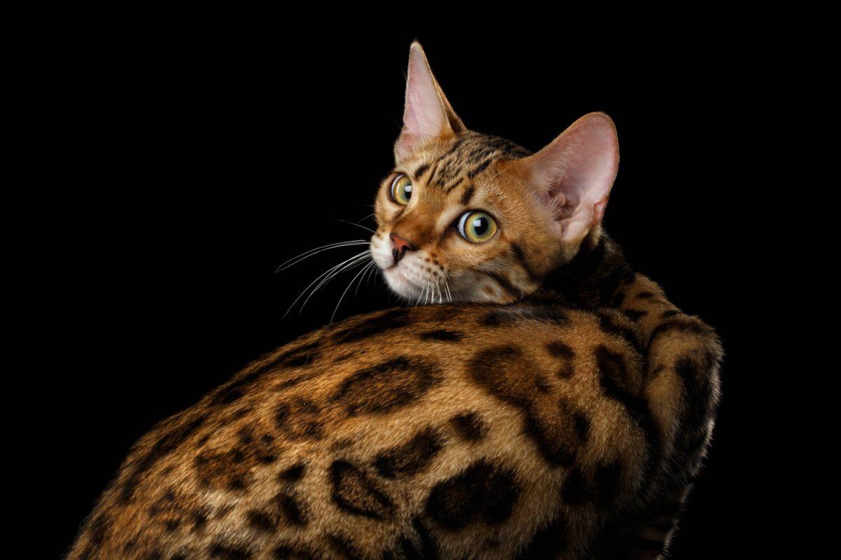 گربه بنگال یا گربه پلنگی