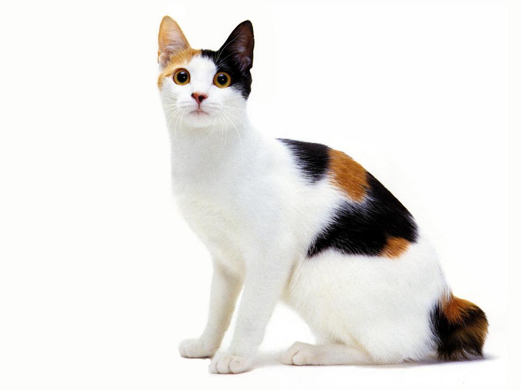 گربه بابتیل ژاپنی دم کوتاه