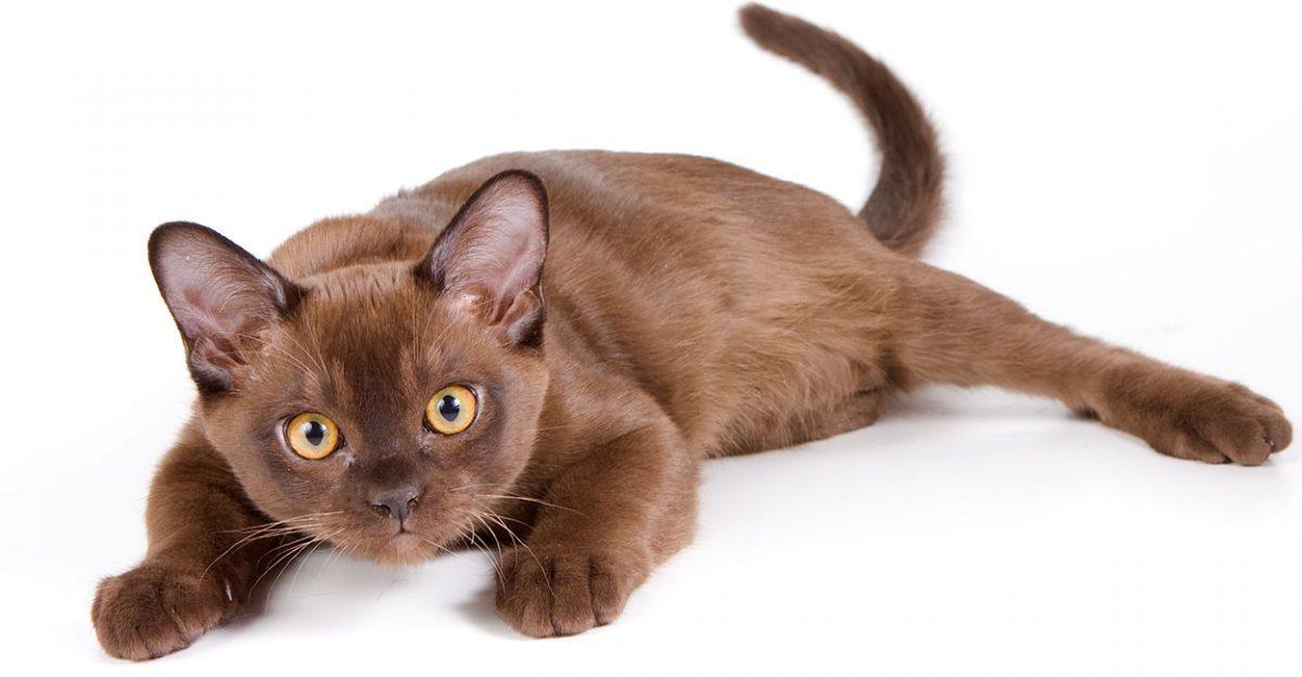 گربه برمه ای دراز کشیده
