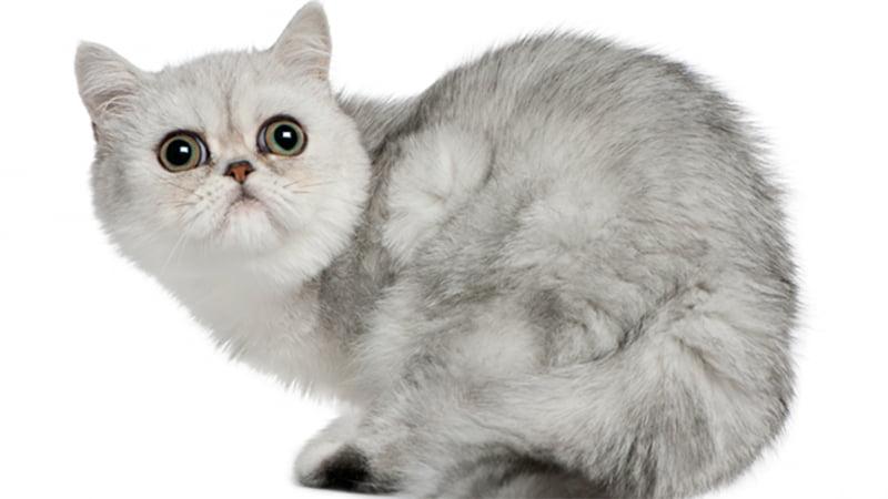 عکس گربه اگزوتیک شورت هیر