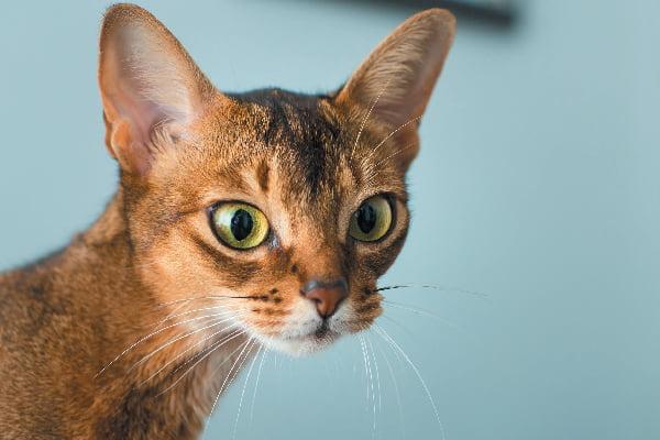 عکس گربهی حبشی