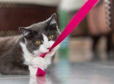 انواع گربه شورت هیر + معرفی گربه بریتیش شورت هیر و آمریکن شورت هیر