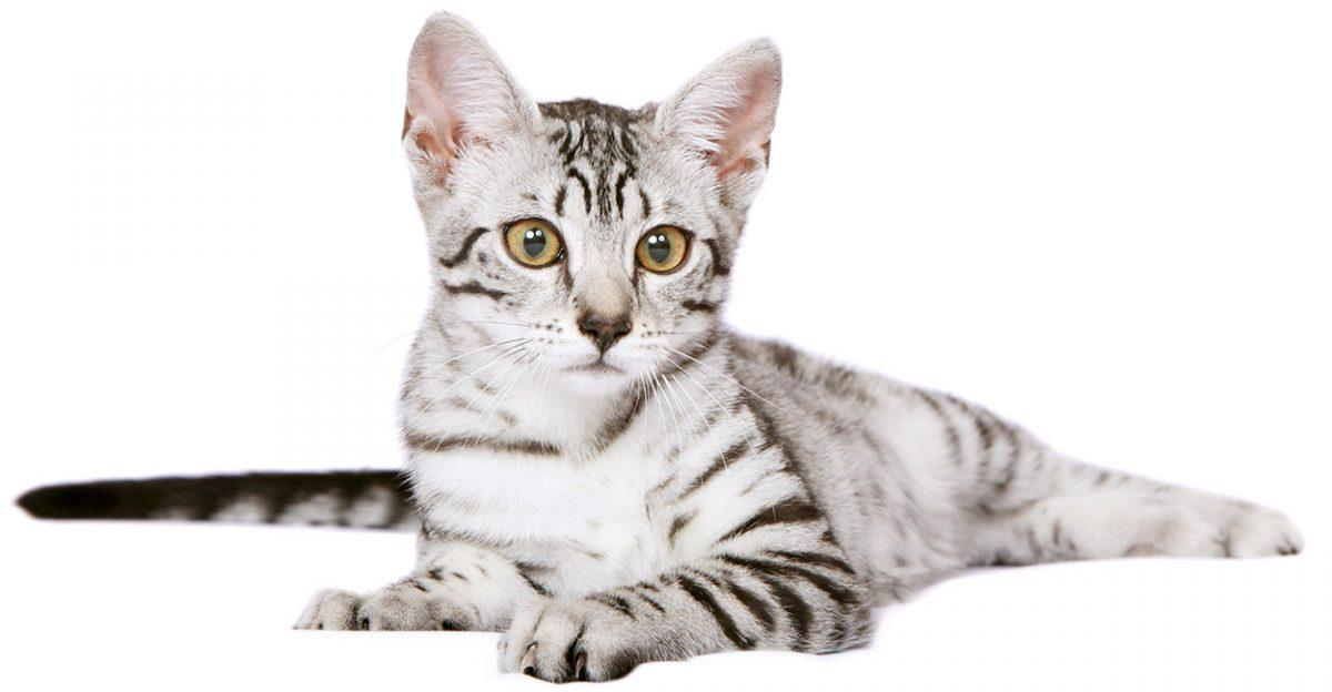 گربه مائو مصری دراز کشیده