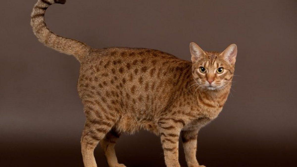 گربه اوسی کت؛ عموزاده های گربه های وحشی