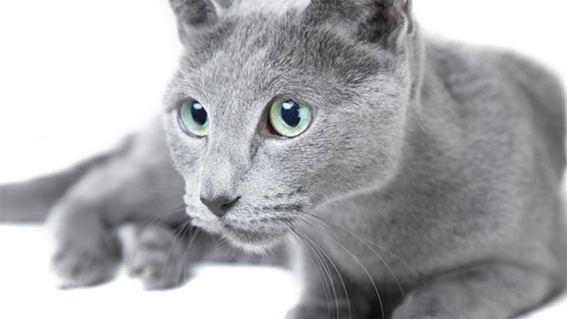 گربه راش بلو