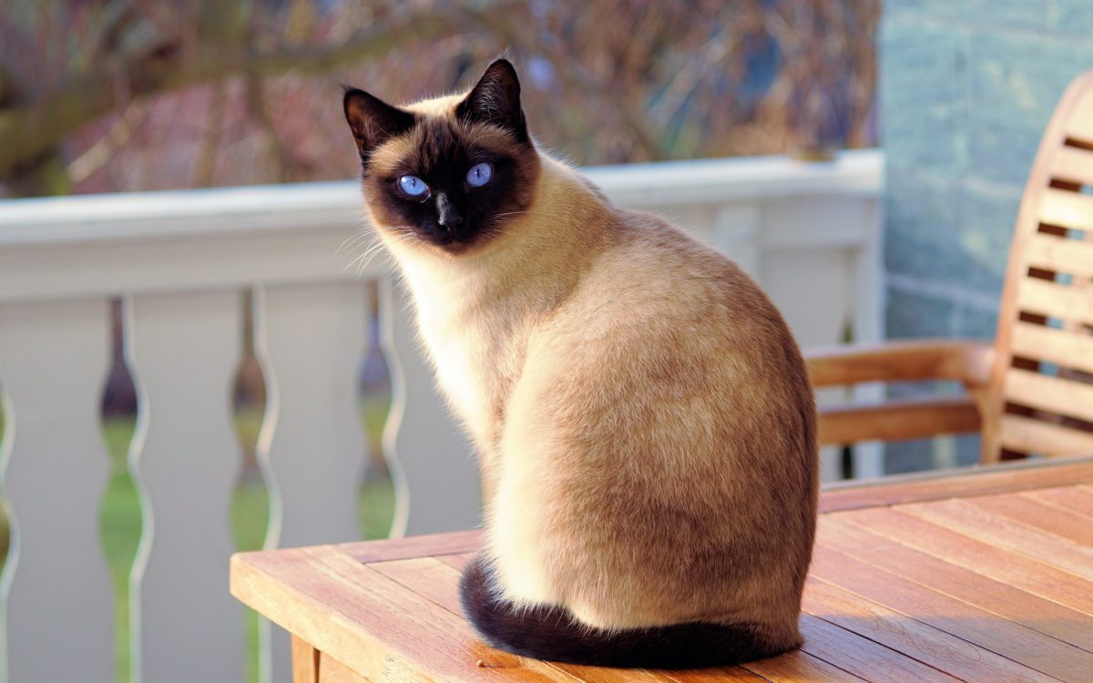 گربه سیامی با چشمانی آبی