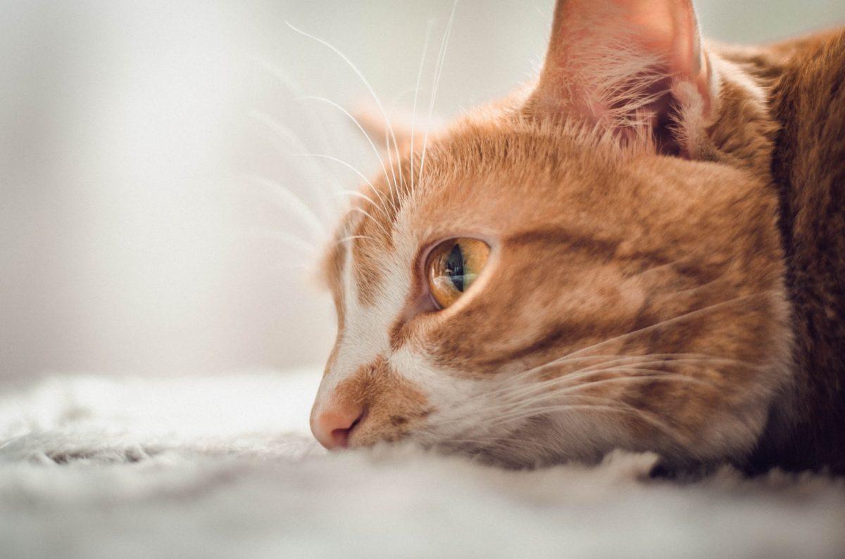 نمای نزدیک از نیم رخ گربه آمریکن شورت هیر