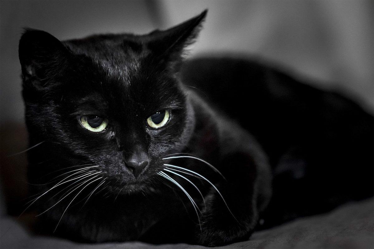 گربه بمبئی معروف به پلنگ سیاه هندی