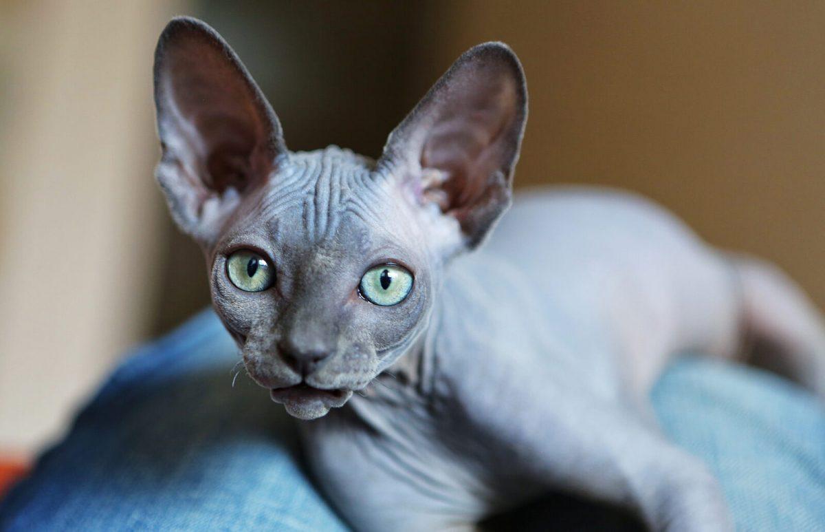 گربه اسفینکس نژادی کانادایی