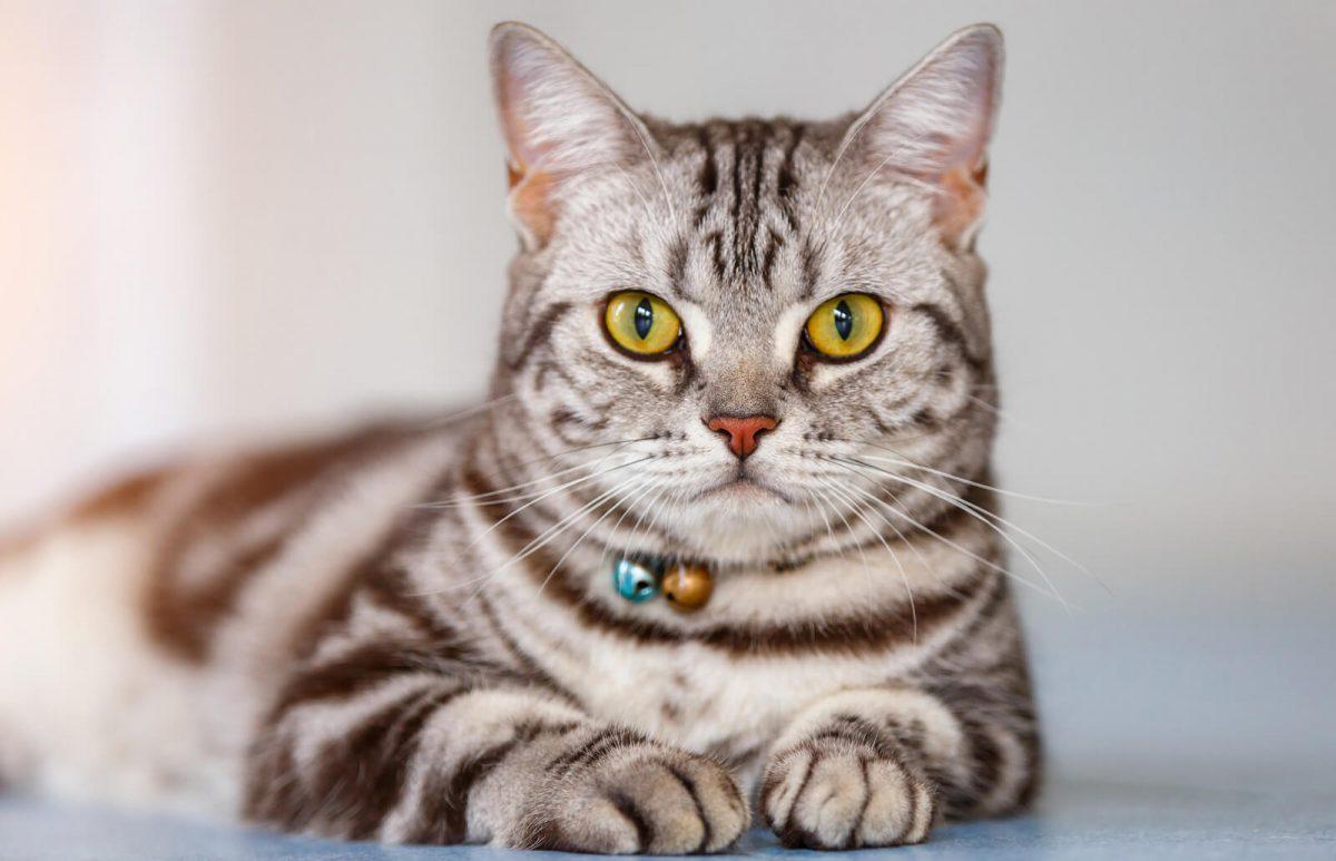 گربه آمریکن شورت هیر