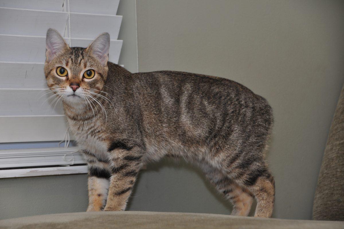 گربهی مانکس